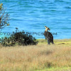 2016-03-12_7059_Moonee Beach Kangaroos.JPG