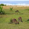 2016-03-23_1383_Pebbly Beach kangaroos.JPG<br /> <br /> These kangaroos come down onto the grass behind the beach every night just before sunset.