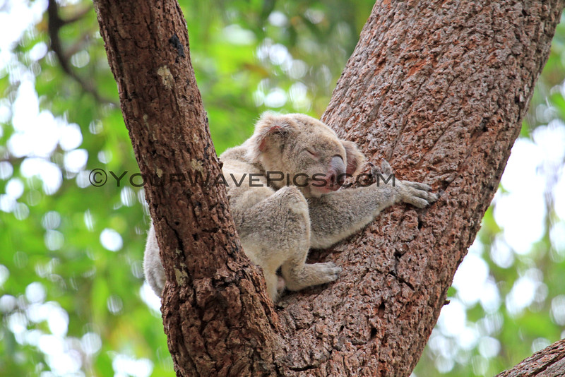 2016-03-05_4995_Noosa National Park_Koala.JPG