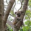 2016-03-05_5003_Noosa National Park_Koala.JPG