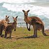 2016-03-14_0931_Moonee Beach Kangaroos.JPG