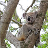 2016-03-05_5009_Noosa National Park_Koala.JPG