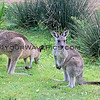2016-03-23_1350_Pebbly Beach kangaroos.JPG<br /> <br /> Eastern Grey Kangaroos