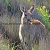 2016-03-12_7123_Moonee Beach Kangaroos.JPG