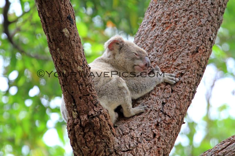 2016-03-05_4979_Noosa National Park_Koala.JPG