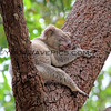 2016-03-05_4984_Noosa National Park_Koala.JPG