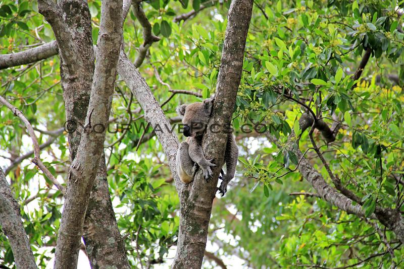 2016-03-05_0540_Noosa National Park_Little Cove Koala.JPG