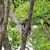 2016-03-05_0540_Noosa National Park_Little Cove Koala.JPG