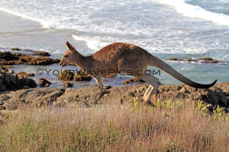 2016-03-12_7072_Moonee Beach Kangaroos.JPG