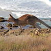 2016-03-12_7072_Moonee Beach Kangaroos.JPG