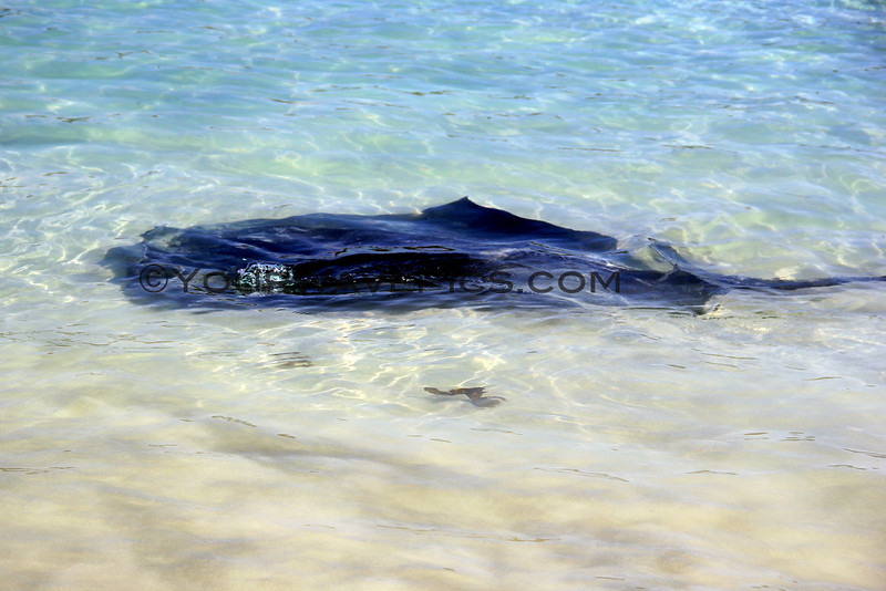 2016-03-24_1398_Bendalong Beach Stingray.JPG<br /> <br /> This little beach is known for giant stingrays that swim near the boat ramp where fishermen throw them scraps of fish.