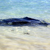 2016-03-24_1398_Bendalong Beach Stingray.JPG<br /> <br /> This little beach is known for giant stingrays that swim near the boat ramp where fishermen throw them scraps of fish.