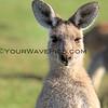2016-03-12_7112_Moonee Beach Kangaroos.JPG