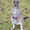 2016-03-23_1355_Pebbly Beach kangaroo.JPG<br /> <br /> Eastern Grey Kangaroo - a crazy lady had been feeding the wild kangaroos hot cross buns!  So, after she left, this little fella came right up to me begging for more.