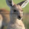 2016-03-12_7115_Moonee Beach Kangaroos.JPG