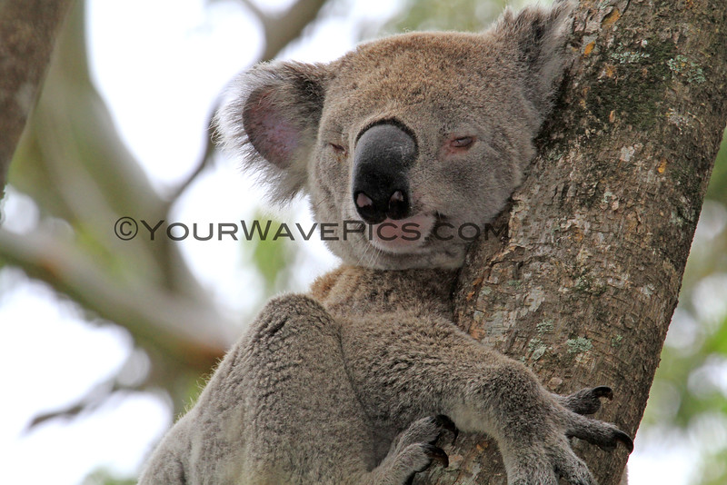 2016-03-05_5006_Noosa National Park_Koala.JPG