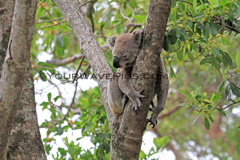 2016-03-05_5013_Noosa National Park_Koala.JPG