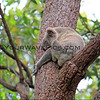 2016-03-05_4970_Noosa National Park_Koala.JPG