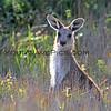 2016-03-12_7107_Moonee Beach Kangaroos.JPG