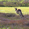 2016-03-12_7091_Moonee Beach Kangaroos.JPG