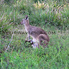 2016-03-12_0887_Moonee Beach Reserve_Kangaroo with joey.JPG