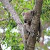 2016-03-05_5010_Noosa National Park_Koala.JPG