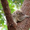 2016-03-05_4992_Noosa National Park_Koala.JPG