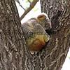 2016-03-06_5022_Noosa National Park_Koala.JPG