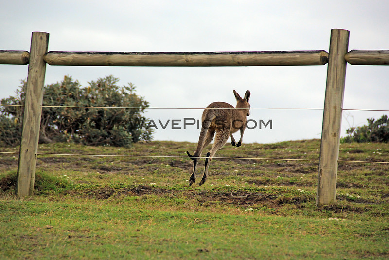 2016-03-14_0992_Moonee Beach Kangaroos.JPG<br /> <br /> These fences keep people out but the kangaroos just jump right through them.