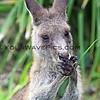 2016-03-23_7877_Pebbly Beach Kangaroo.JPG