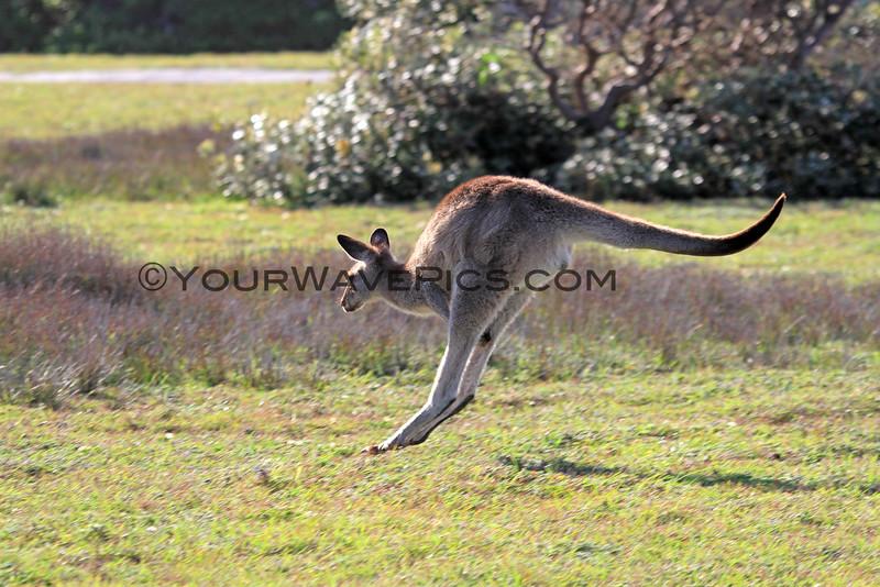 2016-03-12_7085_Moonee Beach Kangaroos.JPG