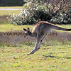 2016-03-12_7085_Moonee Beach Kangaroos.JPG