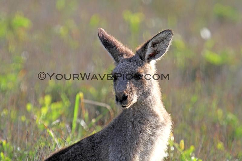 2016-03-12_7114_Moonee Beach Kangaroos.JPG