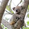 2016-03-05_5002_Noosa National Park_Koala.JPG