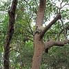 2016-03-05_4971_Noosa National Park_Koala.JPG