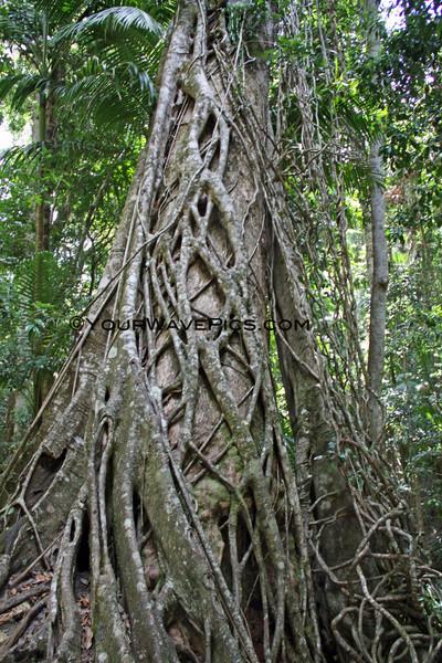 IMG_1104_FraserIslandRainforest