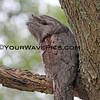 IMG_0107 - Tawny Beak Owl