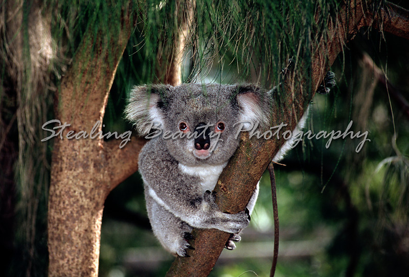 The elusive friendly Koala