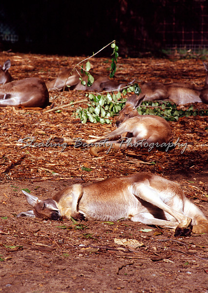 Lazy Roos