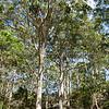 Karri trees, WA