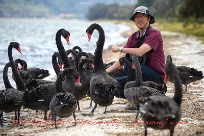 Back Swans Encounter at Swan River