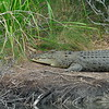 Large saltwater crocodile along Cooper Creek<br />  - in Daintree Rainforest - Queensland<br /> Dec. 26, 2007