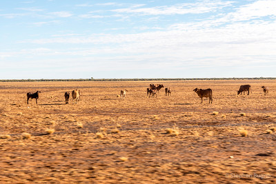 Cattle grazing in the Outback.