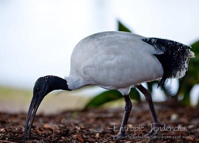 Australian White Ibis, Brisbane Botanic Gardens