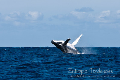 Humback whale breaching off Byron Bay Date: 10 August 2009 © Copyright 2009 Barrie Spence