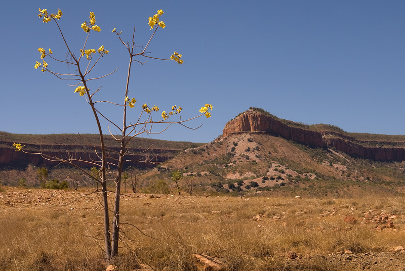 Kapok tree in flower, Gibb River Road near Emma Gorge