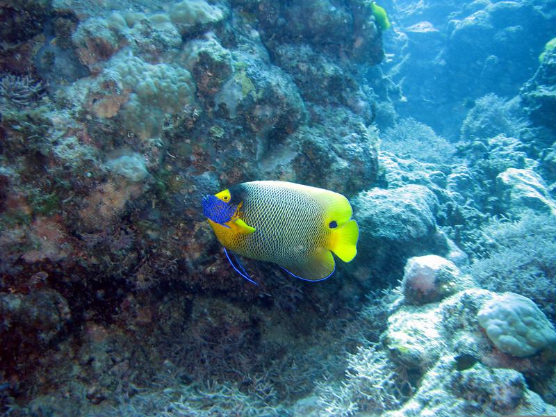 Yellow-Mask Angelfish