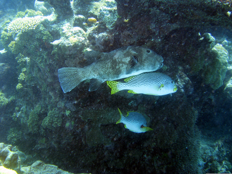 Star Puffer And Diagonal-Banded Sweetlips