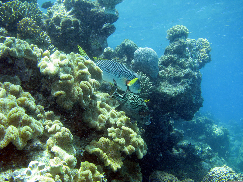 Many-Spotted SweetLips and Diagonal-Banded Sweetlips