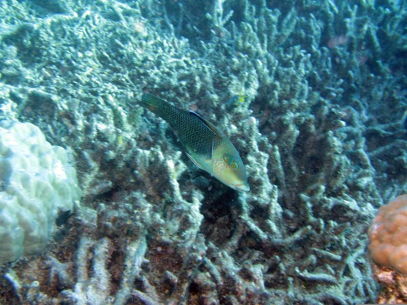 Surf Parrotfish